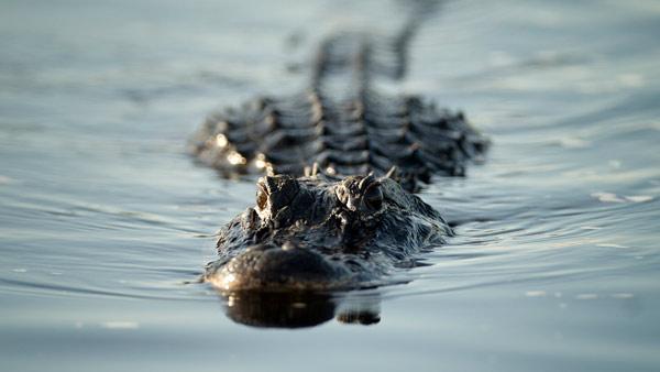 alligator generic_21008