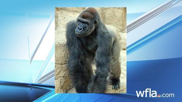 Harambe arrived at the Cincinnati Zoo_152547