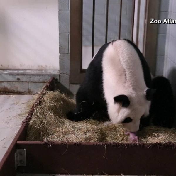 Panda_213827