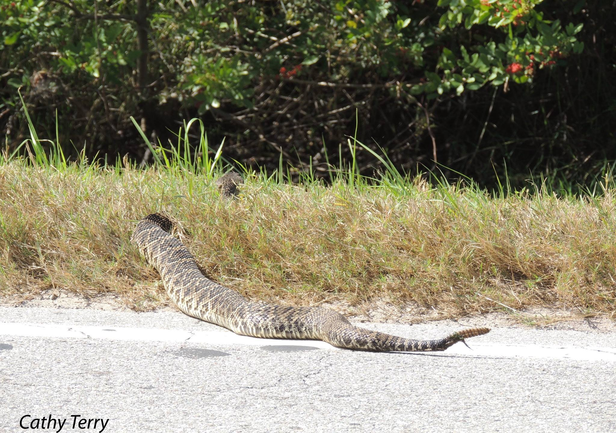 rattlesnake_400502