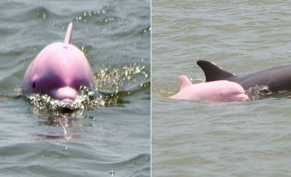 pink-dolphins_422609
