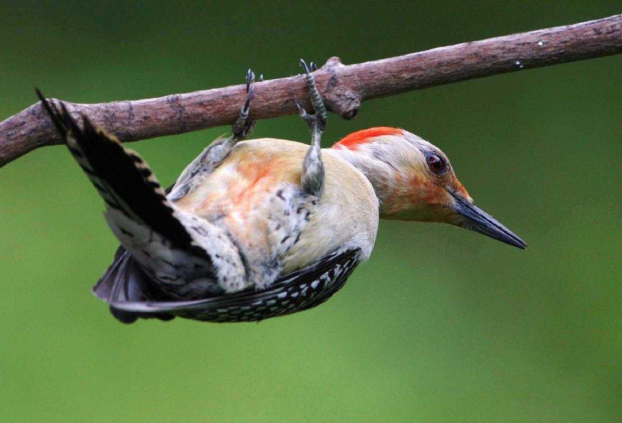 red-bellied-woodpecker-941325_1280_502078
