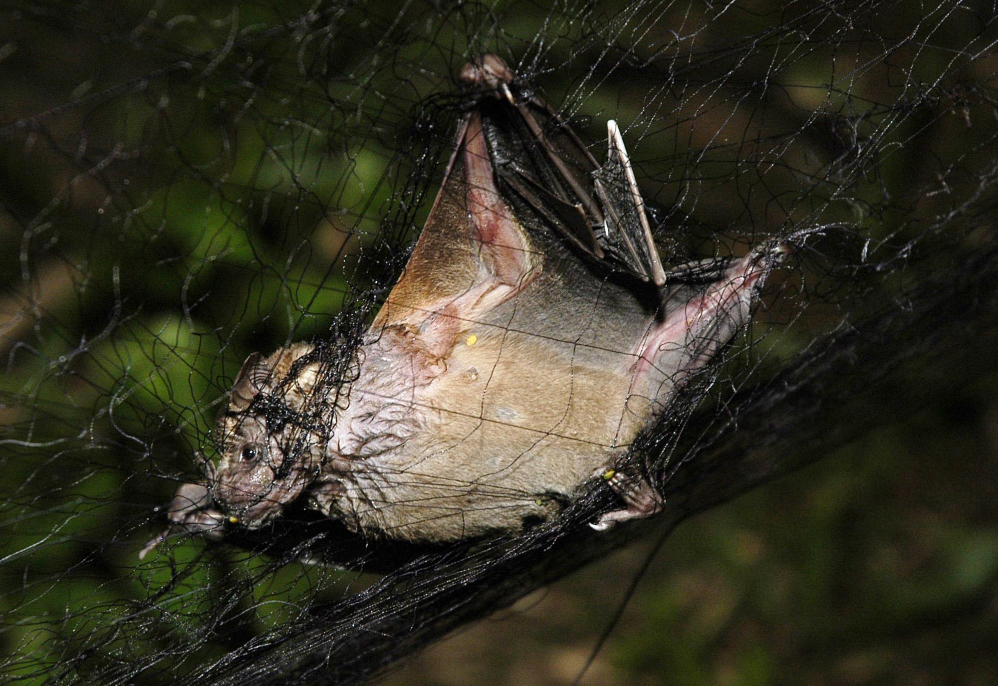 BRAZIL VAMPIRE BATS_539507