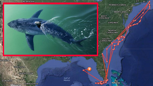 R-GREAT WHITE SHARK MISS-COSTA-PING-MAP-BEST-_530179