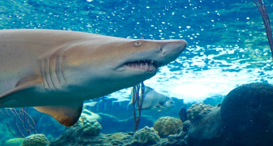 female sand tiger shark florida aquarium_1526491580957.jpg.jpg