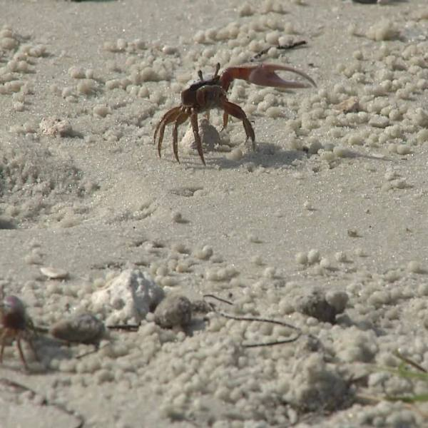 Fiddler_crabs_on_Dunedin_Causeway_0_20180605154640