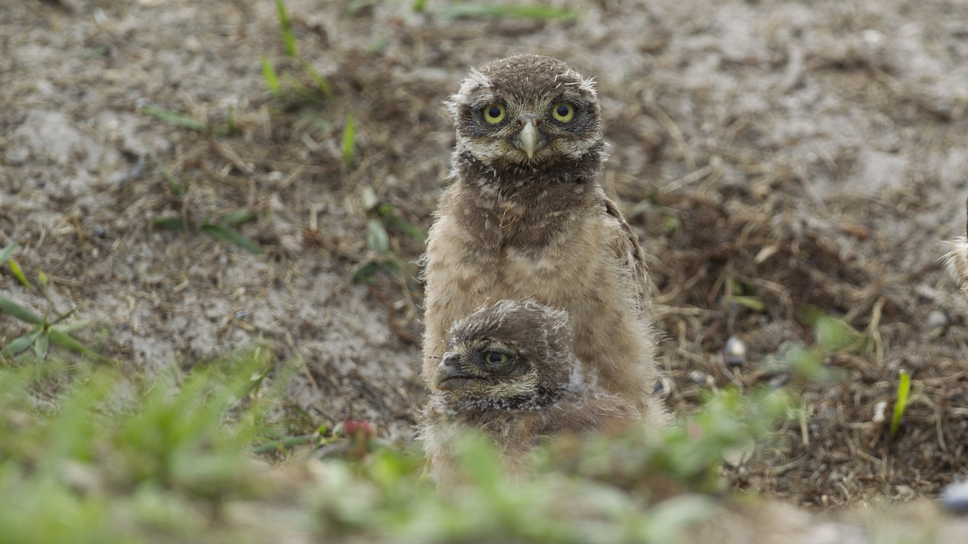 Burrowing Owls_1534590726222