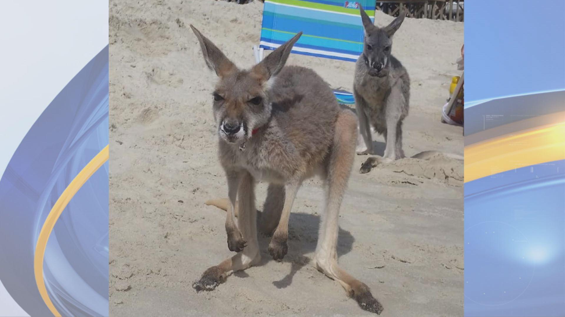 kangaroos_1535940418946-842137442.jpg