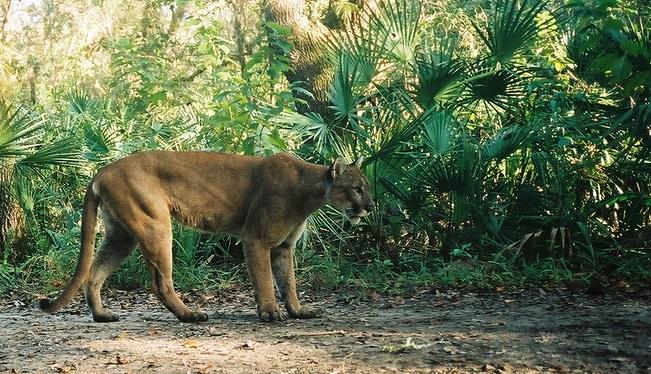 Florida_panther_(7013874693)_1533417707038.jpg