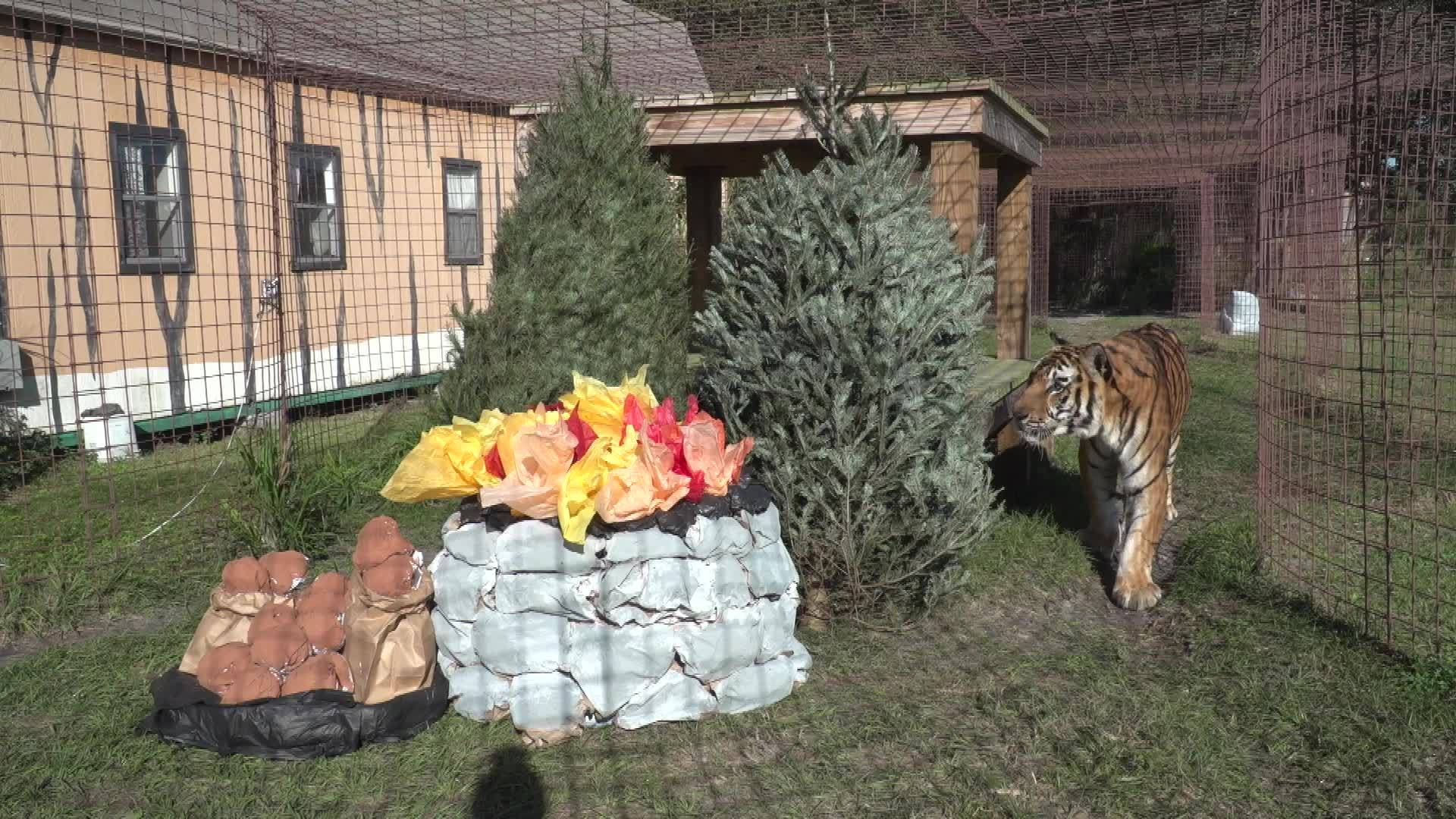 Exotic cats at Big Cat Rescue get very own Christmas trees