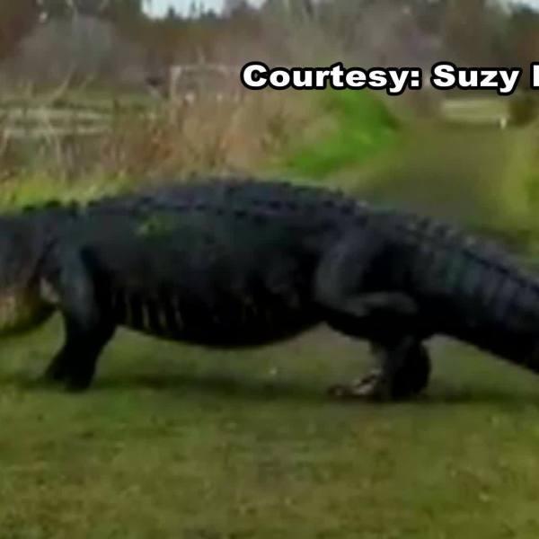 Massive gator strolls through Circle B Bar Reserve