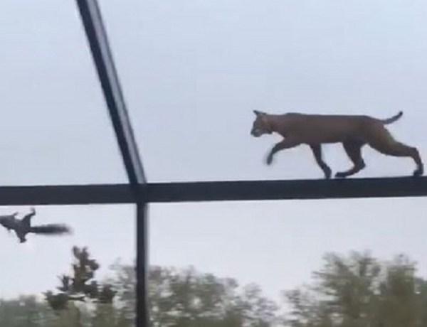 Squirrel escapes death by bobcat on top of Florida patio