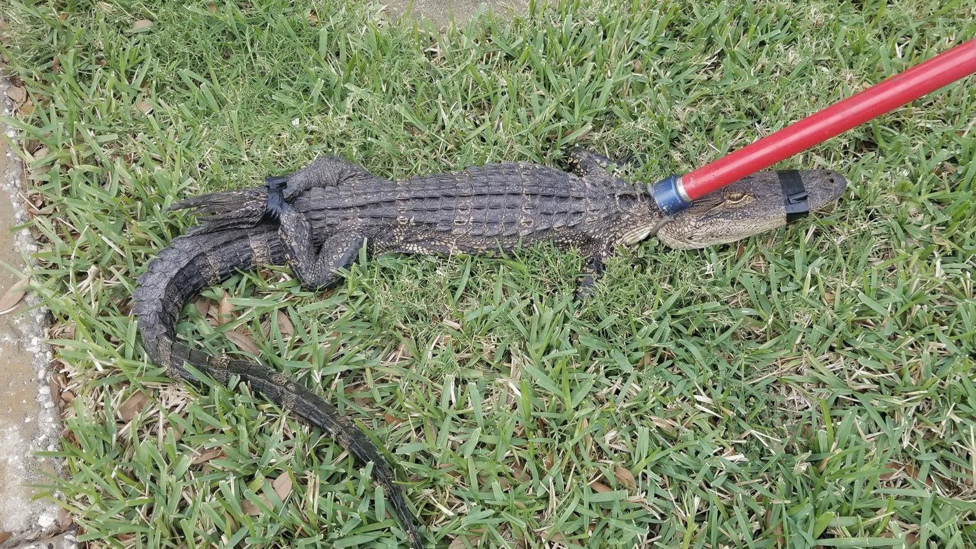 Alligator_1551803460332.jpg