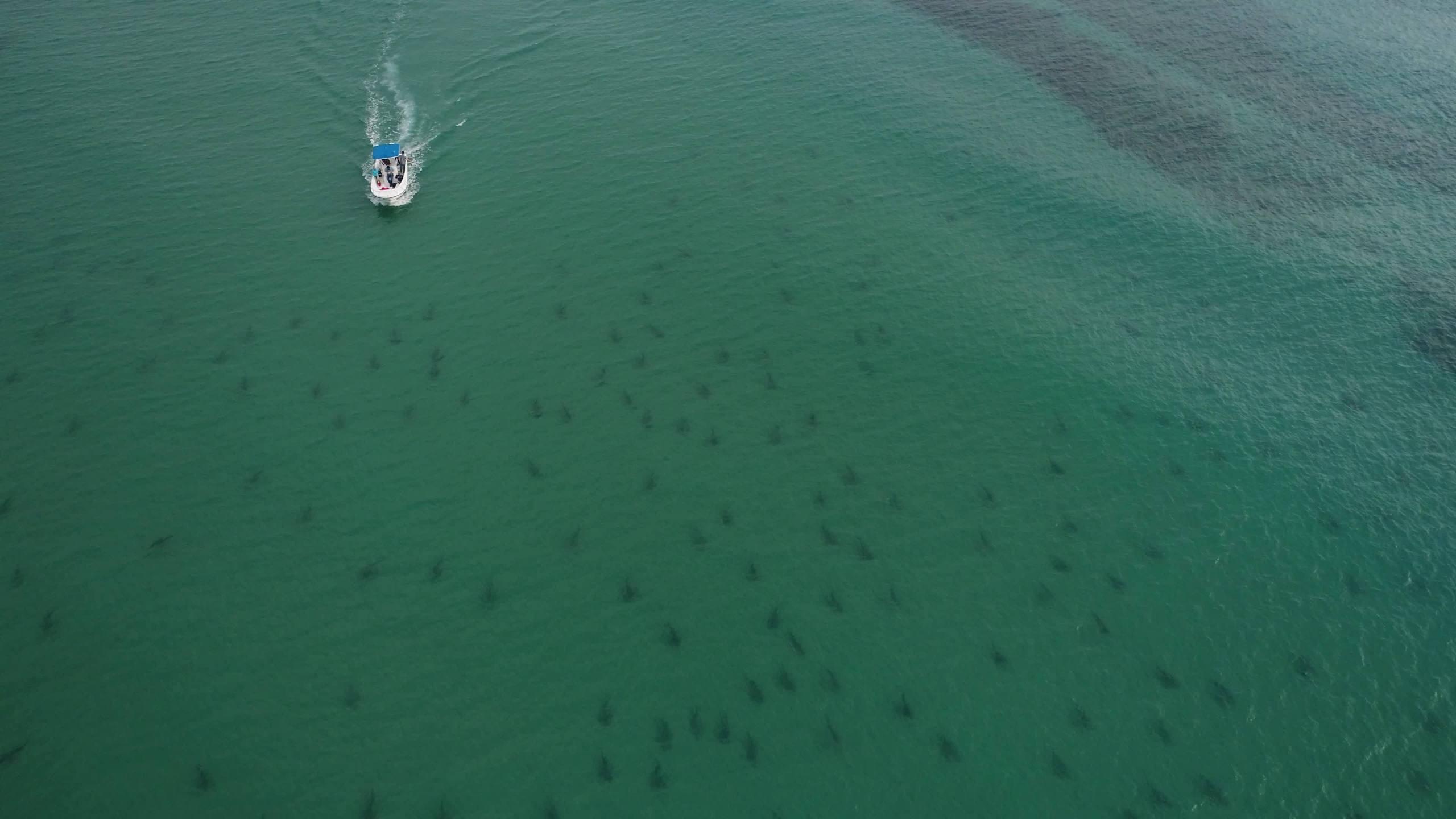 VIDEO: Shark migration caught on camera