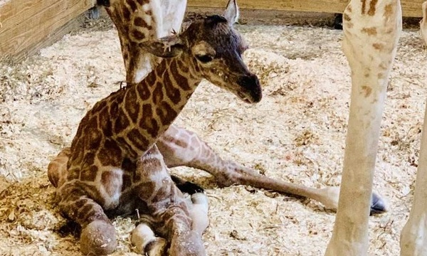 april giraffe baby_1552820136848.jpg-873772846.jpg