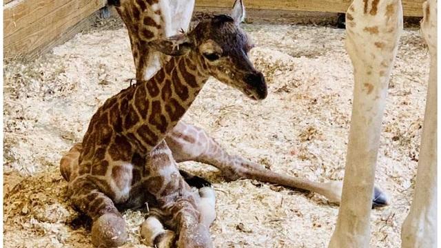 april giraffe baby_1552820136848.jpg-873772846.jpg