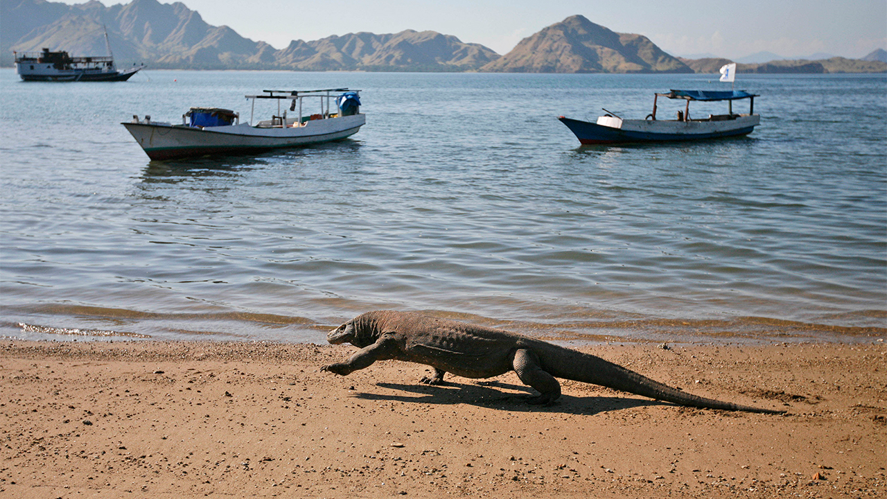 komodo dragon on komodo island