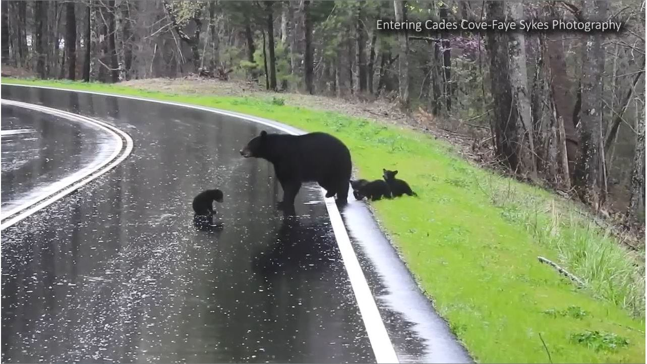 Animal Crossing Marshal Porn watch: mama bear helps adorable cubs cross road