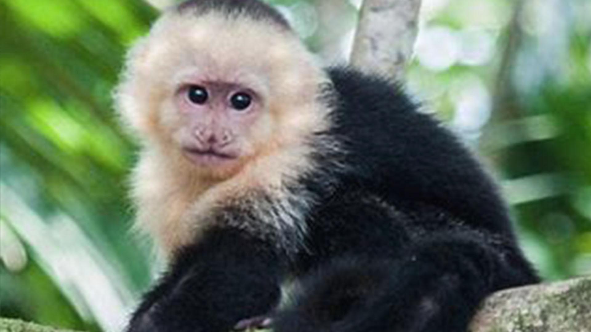 Capuchin Monkey_1557758453698.jpg.jpg