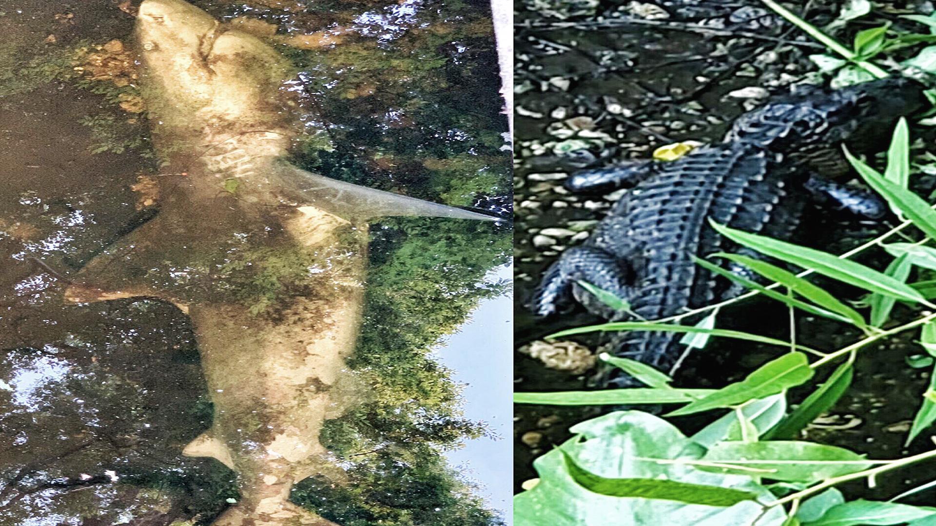 Shark found in Gator filled creek_1558436437567.jpg.jpg
