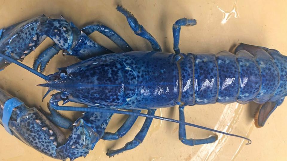 Blue lobster_1560559185430.jpg.jpg