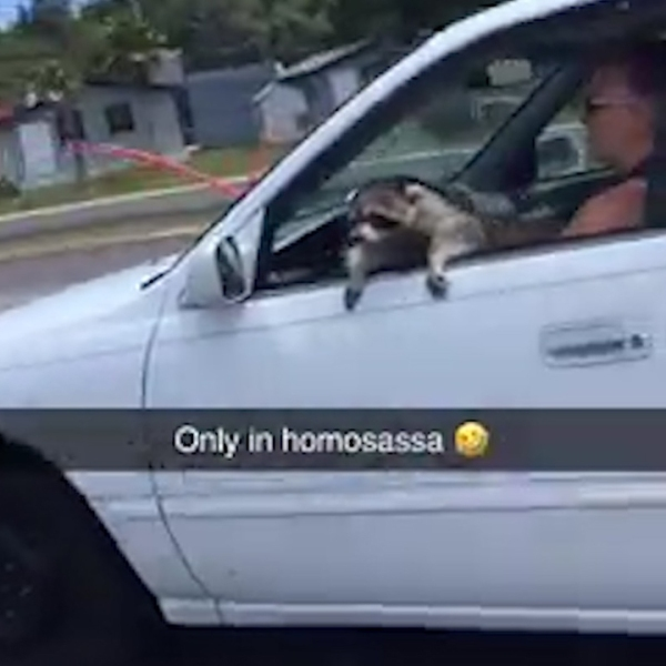 Raccoon hangs out car window in Citrus Co.