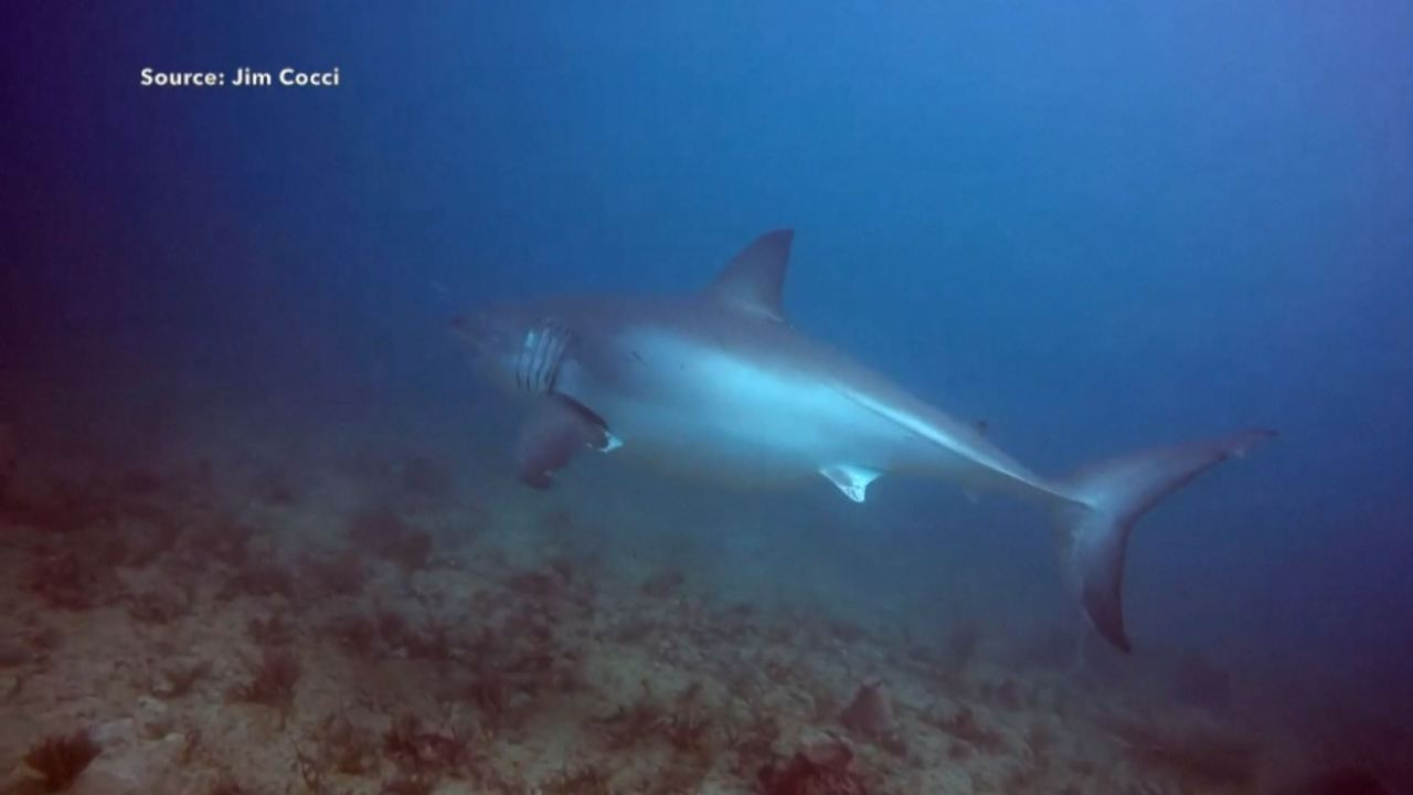 WATCH: Diver has close call with great white shark off coast of Florida