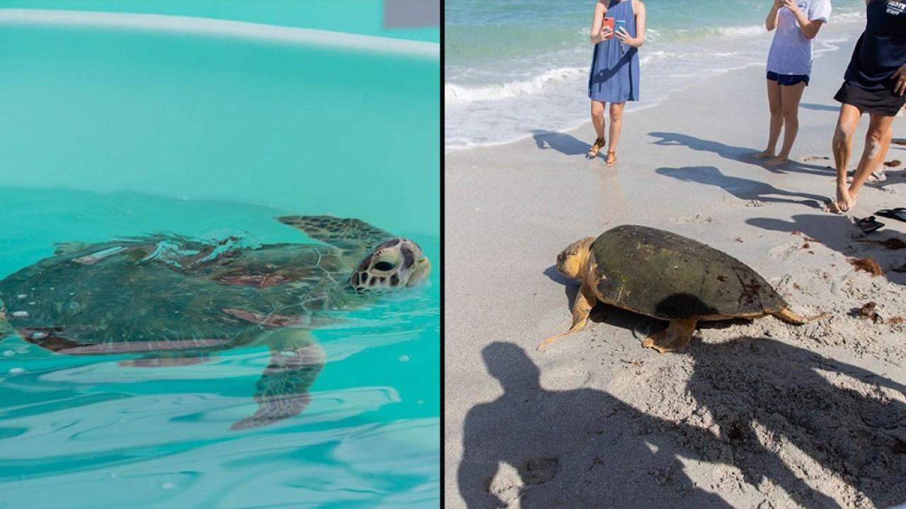 2 sea turtles released back into ocean after rehab in Sarasota