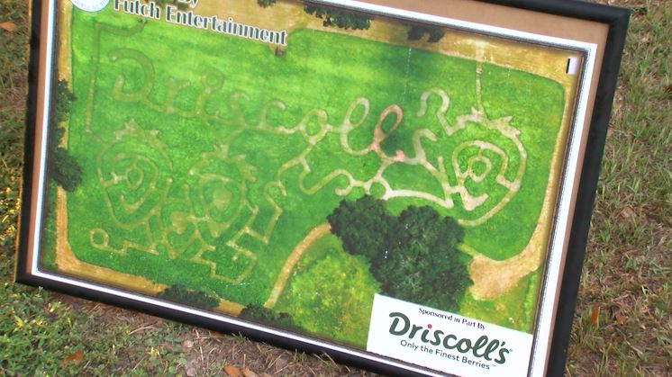 """If you get a bird's eye view, the maze path actually spells out """"Driscoll's"""" with strawberry designs."""